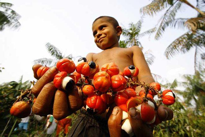 guarana owoc po zbiorach