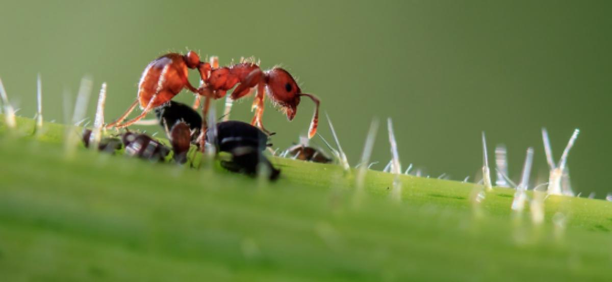 ugryzienie mrówki bywa bolesne, ale jest niegroźne