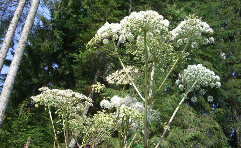 Trujące rośliny